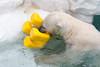 ホッキョクグマのイコロ (Copanda_) Tags: uenozoo ikor polarbear イコロ ホッキョクグマ 上野動物園