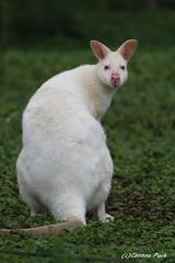 Wallaby de Bennett albinos (Passion Animaux & Photos) Tags: wallaby bennett albinos albino redneckedwallaby micropus rufogriseus parc auxois france