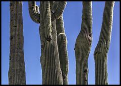 Sabino Canyon #13 2017-18; Five Saguaros (two pregnant) (hamsiksa) Tags: desert sonorandesert desertsouthwest desertsoftheunitedstates arizona tucson sabinocanyonnationalrecreationarea coronadonationalforest santacatalinamountains desertlife plants flora xerophytes succulents cacti cactus cactaceae carnegieagigantea abstract