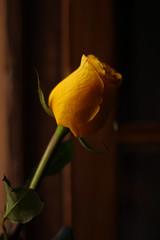 JAYUS  Un chiste o una broma mal contado, y sin gracia en el que no puedes ayudar, pero igual te ries. (Lucia Cortés Tarragó) Tags: flowers tulip yellow independence mallorca happy canon100d 50mm