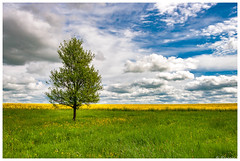 Colza à l'horizon (Pascale_seg) Tags: paysage landscape countryscape campagne champ country colza arbre tree printemps spring moselle france lorraine nikon nature earth sky ciel cloud nuage fleur flower jaune yellow blue bleu vert green