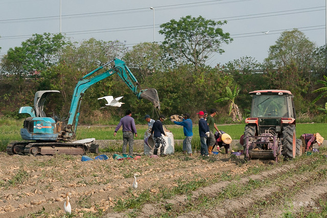 原來地瓜是這樣採收,還有人專門撿剩下的蕃薯(10)