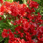 Au jardin, azalée naine japonaise, Bosdarros, Béarn, Pyrénées Atlantiques, Aquitaine, France. thumbnail