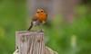 The little Red Boss.. (Adam Swaine) Tags: robins robin robinredbreast rspb birds britishbirds englishbirds gardenbirds wildlife woodland woodlandfloor parks uk ukcounties seasons naturelovers nature canon britain british naturewatcher londonparks peckehamryepark