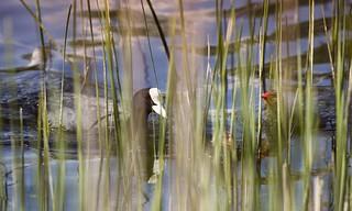 Lakeside Fulica Atra - Eurasian Coot