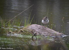 Common Sandpiper /Drillsnäppa (Actitis hypoleucos) (Hans Olofsson) Tags: bird böle drillsnäppa fågel miljö natur nature sandpiper sweden vadare vatten actitishypoleucos commonsandpiper