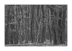 Im Reich der Elfen (Babaou) Tags: niederlande nederland limburg roermond nationaalpark demeinweg sw bw nb dxopl herkenbosch explore