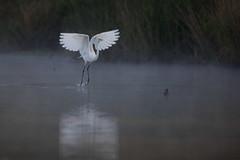Semaphore (gseloff) Tags: greategret bird flight bif feeding water mist fog bayou nature wildlife animal horsepenbayou pasadena texas kayak gseloff