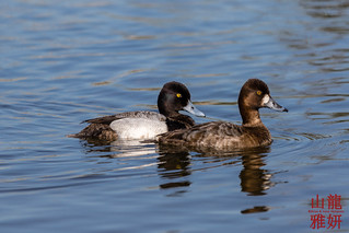 Mr and Mrs Lesser Scaup