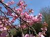 Cherry Blossom (MonkeysBirthday) Tags: cherry blossom spring flowers pink cmwdpink