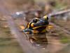 Feuersalamander / Fire Salamander (S. Markow) Tags: animal feuersalamander firesalamander tier nature natur panasonic lumix g9 100400mm outdoor wildlife wild harz