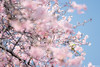 kawazu cherry blossom (it05h1) Tags: nature flowers flower blossoms blossom sakura kawazucherryblossom cherryblossoms cherryblossom parakeet bird smallbird spring landsape park maebashi gunma japan japanscape it05h1