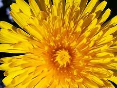 Dandelions (daveandlyn1) Tags: dandelion flowerweed heart pralx1 huawei smartphone cameraphone