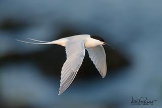 endangered roseate tern