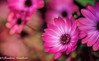 Shining in the Light (frederic.gombert) Tags: flower flowers bloom blossom light color red pink spring summer macro plant daisy nikon colorful