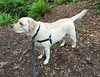 Gracie on the trail (walneylad) Tags: gracie dog canine pet puppy cute lab labrador labradorretriever may spring westlynn morning