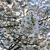 I'm here to see the cherry blossoms. 🌸 (sillygwailo) Tags: highpark cherryblossoms toronto