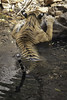 soaking in the water hole (Tripping Along) Tags: tiger ranthambhorenationalpark wildlifephotography