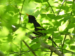 Common Blackbird (Oleg Chernyshov) Tags: commonblackbird turdusmerula черныйдрозд