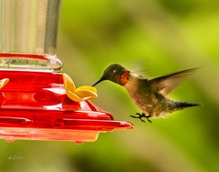 Landing gear down . . . (Dr. Farnsworth) Tags: bird small male feeder hummingbird rubythroated speed shutter westlake mi michigan spring may2018