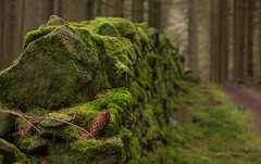 Walton's Wall (music_man800) Tags: waltons wall forestry commission kielder forest park northumberland uk united kingdom woods thick trees woodland pine plantation floor moss green damp mystery mysterious ambient focus selective creative easter april outdoors nature natural light atmospheric moody stones track path canon 700d prime lens adobe lightroom edit