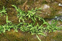 Anglų lietuvių žodynas. Žodis maidenhair spleenwort reiškia <li>maidenhair spleenwort</li> lietuviškai.