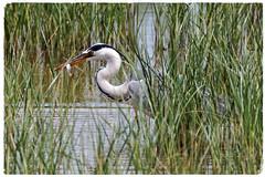 Bernat pescaire - Garza real - Grey heron - Ardea cinerea (aurearamon) Tags: greyheron ardeacinerea bernatpescaire garzareal