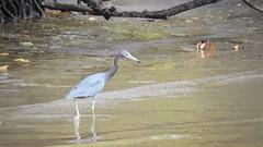 Garça-azul - Little Blue Heron (sileneandrade10) Tags: sileneandrade praia garça garçaazul egrettacaerulea littleblueheron ardeidae animal ave freebird nature natureza nikon nikoncoolpixp900