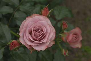 Rose -Roman-,Kyoto Botanical Gardens,Kyoto