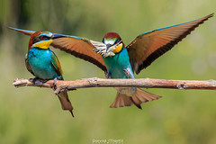 DMR_0818 (david marfil) Tags: abejarruco abellarol altpenedes bird ocells ocellsdecatalunya nature naturepics natura catalunya papallona butterfly