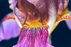 le trésor (rondoudou87) Tags: iris flower fleur light lumière color couleur close closer macro dof smcpentaxdfa100mmf28macrowr jardin garden bokeh flash beautiful beauty pentax k1