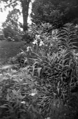 plant and floral forms, backlit tree, West Asheville, NC, Brownie Bulls-Eye Camera, Kodak TMAX 400, Ilford Ilfosol 3 developer, early May 2018 (steve aimone) Tags: floral floralforms flowers plants backlittree yard westasheville northcarolina browniebullseyecamera kodaktmax400 ilfordilfosol3developer 6x9 boxcamera kodak 120 film 120film blackandwhite monochrome monochromatic landscape mediumformat