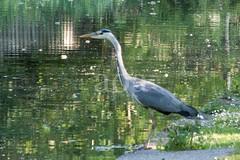 H509_8049-2 (bandashing) Tags: canal wildlife green heron peakforestcanal water bird dukinfield sylhet manchester england bangladesh bandashing aoa socialdocumentary akhtarowaisahmed