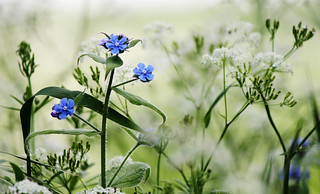 Meadow whites