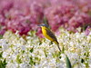 Yellow Wagtail on a hyacinth field (Corine Bliek) Tags: vogel vogels bird birds wildlife nature natuur spring voorjaar flowering colourfull bloemen bloei kleurrijk bulb fields bollenvelden macro flower food wood motacillaflava yellow hyacinth purple white