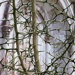 "Cincinnati – Spring Grove Cemetery & Arboretum ""Flying Dragon Thorns At Burnet Mausoleum"" thumbnail"