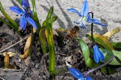 Blue Refill - _TNY_4225 (Calle Söderberg) Tags: macro canon canon5dmkii canoneos5dmarkii canonef100mmf28usmmacro flash meike mk300 glassdiffusor 5d2 insect bee bi honungsbi honeybee apis mellifera flying landing midair siberiansquill scilla siberica squill blåstjärna ryskblåstjärna blådruva woodsquill asparagaceae f32