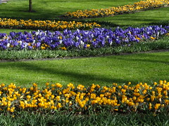 Crocuses (xtinab0s) Tags: spring crocus flowers colors nature flower color yellow blue green springtime keukenhof netherlands europe