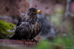 Splish Splash (KevinBJensen) Tags: bird animal blackbird closeup wet water springtime daylight outdoor
