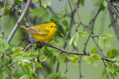 Yellow Warbler (Jesse_in_CT) Tags: yellowwarbler nikon200500mm warbler