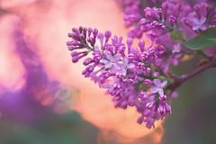 Lilac Sunset (paulapics2) Tags: lilac blossom april spring sunset colourful bright orange canoneos5dmarkiii sigma105mmf28exdgoshsmmacro garden