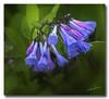 Virginia bluebells... (Roger Photos) Tags: nef virginiabluebells virginia waterfordva flowers hdr wildflowers