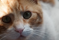 Kimo 02052018 (mcg0011) Tags: gato cat kat katt katze kot felino feline mascota pet cute eyes manuelcarrasco neko