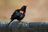 Red-winged Blackbird (Carlos Carreras) Tags: redwingedblackbird birds bird newjersey nature nj njbirds lenapepark cranford