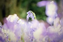 Blooming Bluebells (skoop102) Tags: bluebells bluebell flowers blue bells warwickshire coventry woodlands woodland woods
