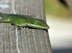 Carolina Anole (v seger) Tags: island anole lizard carolina head south hillton camouflage