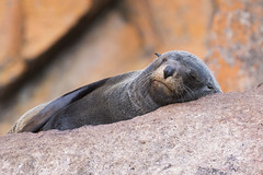 Australian Fur Seal (Baractus) Tags: freycinet national park tasmania australia john oates australian fur seal inala nature tours saffire