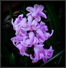 Natural Wonder (dimaruss34) Tags: newyork brooklyn dmitriyfomenko image flower hyacinth