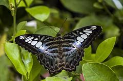 Butterfly #1 (Marco_964) Tags: farfalla butterfly colori colors closeup pentax reflex