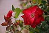 (Roi.C) Tags: rose roses flowers flower outdoor season garden red macro hdr nikkor nikond5300 nikon nature bridge spring bouquet blossom